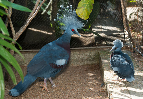 """<div class=""""meta image-caption""""><div class=""""origin-logo origin-image none""""><span>none</span></div><span class=""""caption-text"""">The Victoria Crowned pigeon hatched on January 24.     The gender of the party-hatted bird is still unknown.  Its brother was hatched back on December 21 of last year. (Houston Zoo)</span></div>"""
