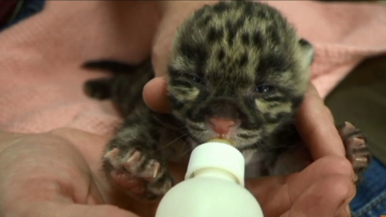 One of two clouded leopard cubs is fed by a Lowry Park Zoo zookeeper.