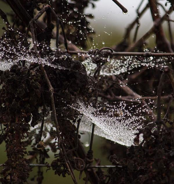 "<div class=""meta image-caption""><div class=""origin-logo origin-image none""><span>none</span></div><span class=""caption-text"">A viewer submitted this image of a rain soaked spider web in Sonoma County, March 10, 2016. (Submitted to KGO-TV via Instagram/ @rachaelhairstonphotography)</span></div>"