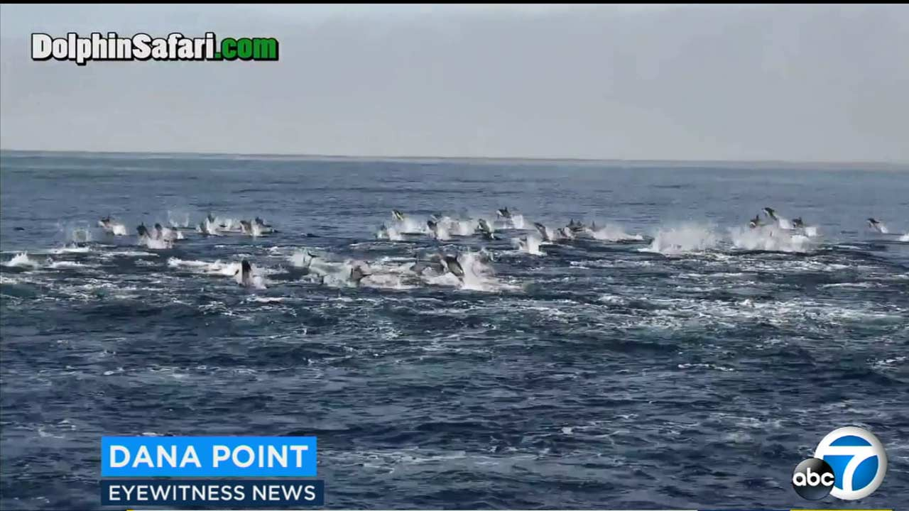 Hundreds of dolphins stampeded on the ocean off Dana Point, diving in and out of the water as a tour group watched.