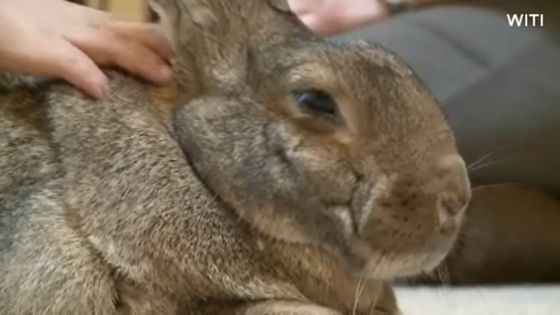 Rabbits as pet therapy animals