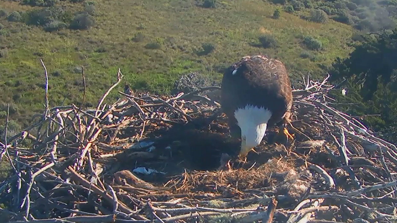 A mother eagle feeds her newborn chick in a nest on Santa Cruz Island within the Channel Islands National Park grounds.