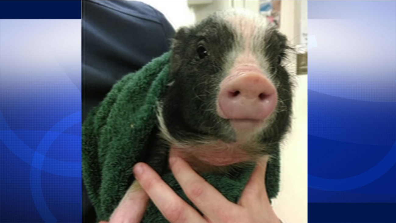 "This image shows ""Janice"" the piglet after she was rescued by Brother Damian with the Society of Saint Francis in San Francisco, Calif. March 8, 2016."