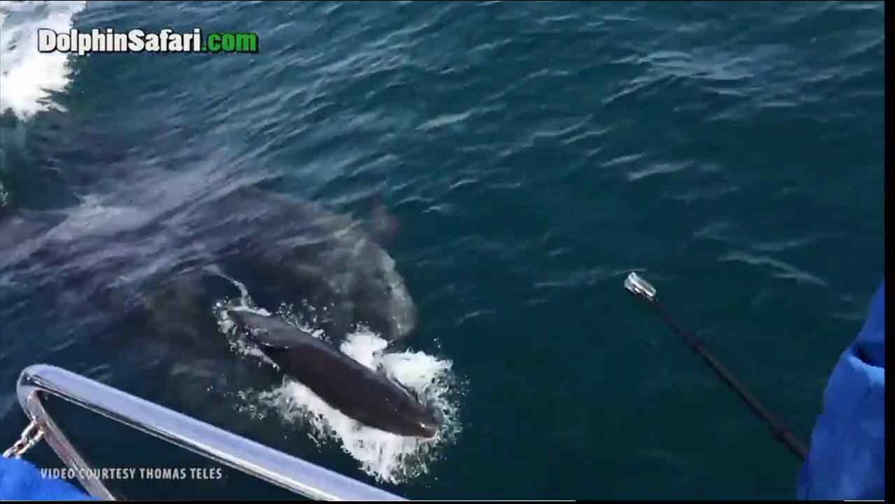 A newborn false killer whale swims with its mother soon after it's born off the coast of Dana Point, Calif.