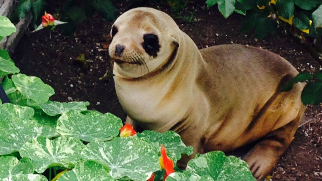 A sea lion pup turned up in a person's front yard at Silver Stand Beach in Oxnard on Sunday, March 20, 2016.