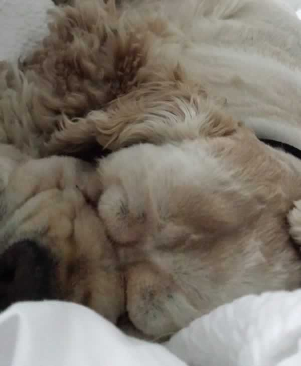 """<div class=""""meta image-caption""""><div class=""""origin-logo origin-image none""""><span>none</span></div><span class=""""caption-text"""">Meet CeCe! In honor of National Puppy Day, ABC7 is getting in the National Puppy Day spirit by featuring photos sent in by our viewers and our news team using #PuppiesOn7. (Photo submitted to KGO-TV by sharistu/Twitter)</span></div>"""