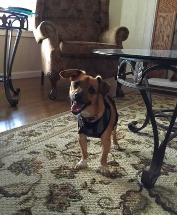"""<div class=""""meta image-caption""""><div class=""""origin-logo origin-image none""""><span>none</span></div><span class=""""caption-text"""">Meet Louie! In honor of National Puppy Day, ABC7 is getting in the National Puppy Day spirit by featuring photos sent in by our viewers and our news team using #PuppiesOn7. (Photo submitted to KGO-TV by enes69/Twitter)</span></div>"""