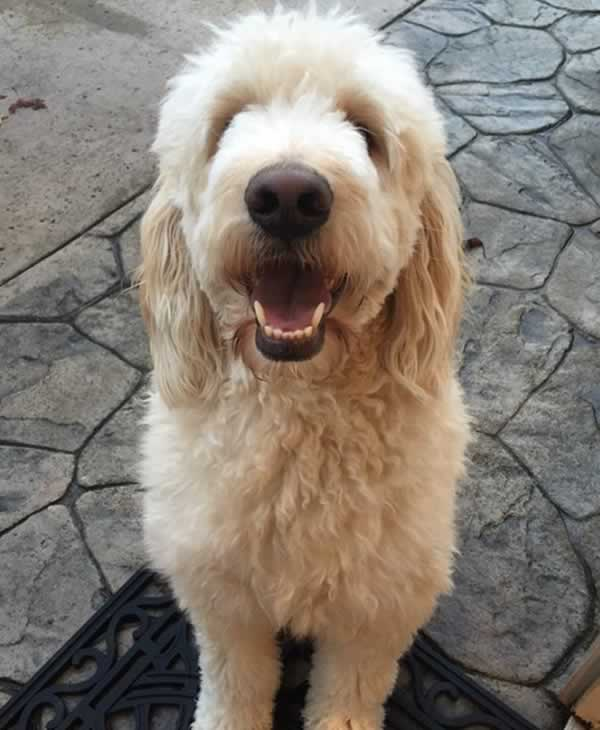 """<div class=""""meta image-caption""""><div class=""""origin-logo origin-image none""""><span>none</span></div><span class=""""caption-text"""">In honor of National Puppy Day, ABC7 is getting in the National Puppy Day spirit by featuring photos sent in by our viewers and our news team using #PuppiesOn7. (Photo submitted to KGO-TV by ginammazzetti/Twitter)</span></div>"""