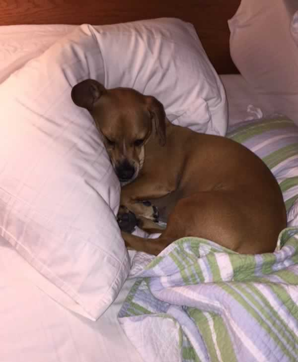"""<div class=""""meta image-caption""""><div class=""""origin-logo origin-image none""""><span>none</span></div><span class=""""caption-text"""">Meet Bagel! In honor of National Puppy Day, ABC7 is getting in the National Puppy Day spirit by featuring photos sent in by our viewers and our news team using #PuppiesOn7. (Photo submitted to KGO-TV by parkwright1/Twitter)</span></div>"""