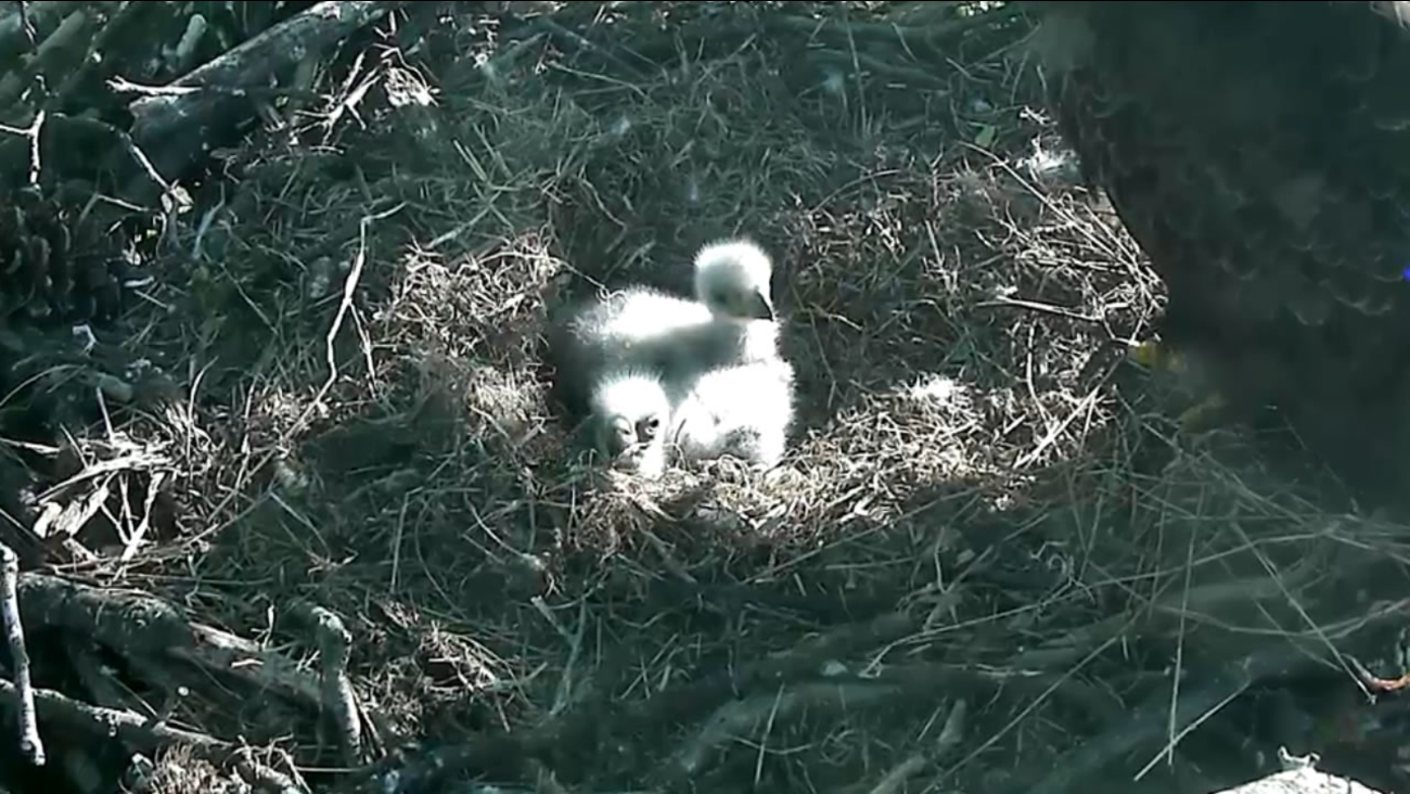 Baby eagles at the U.S. National Arboretum in Washington.