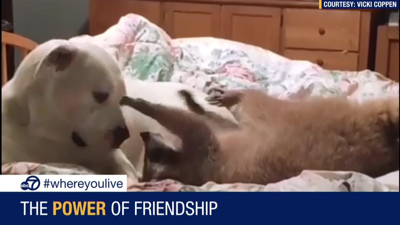 Raccoons | abc7news com