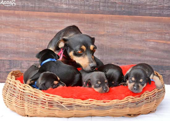 <div class='meta'><div class='origin-logo' data-origin='none'></div><span class='caption-text' data-credit='Ana Paula Grillo/Anna Fotografia'>Remember the pregnant dog who slayed her maternity photo shoot? Well, now she is back and showing off her five puppies</span></div>