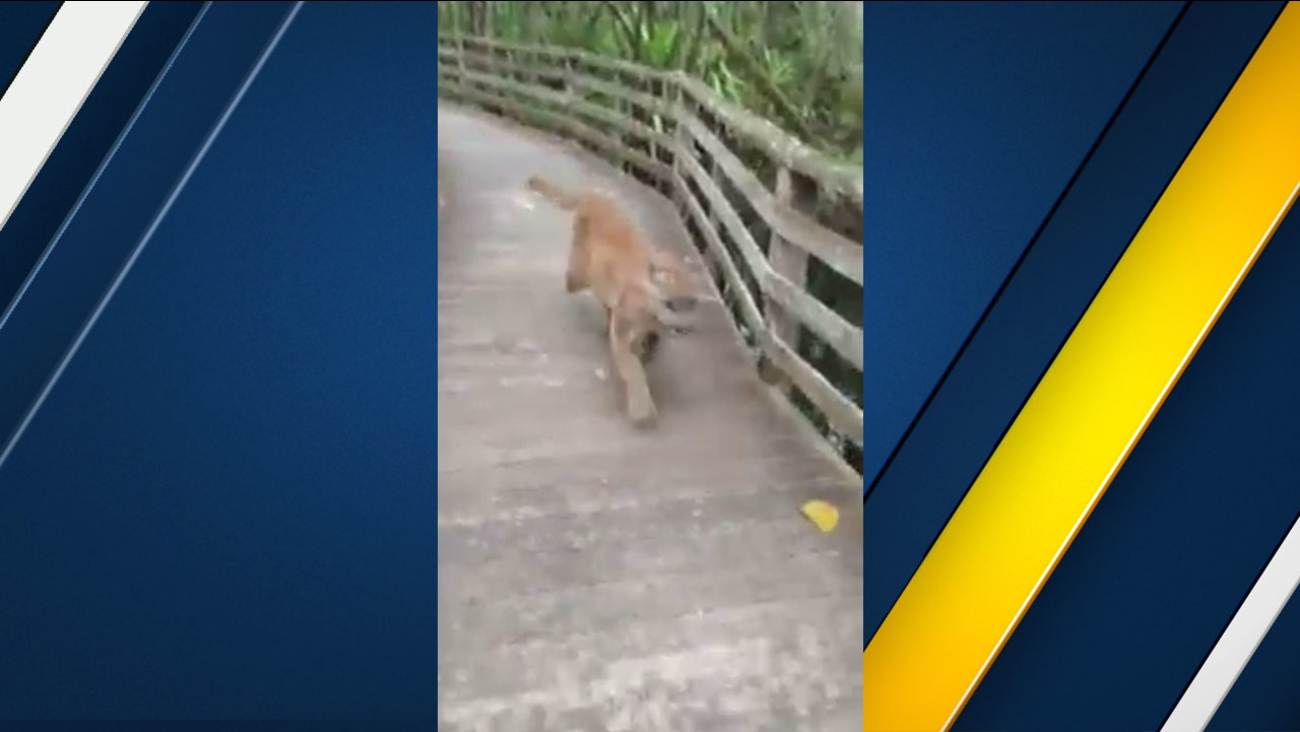A Florida panther was captured on video after a woman encountered it during a nature walk.