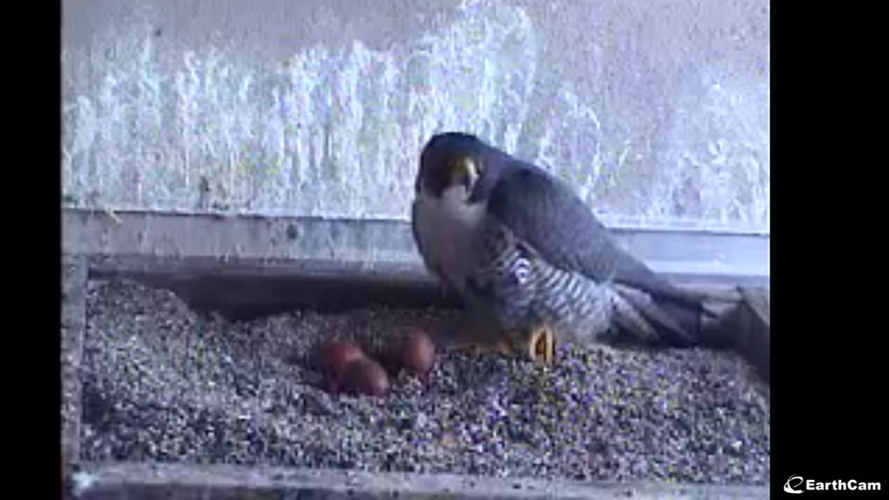 This image is a still from a live PG&E web cam of rare nesting peregrine falcons in San Francisco, March 30, 2016.
