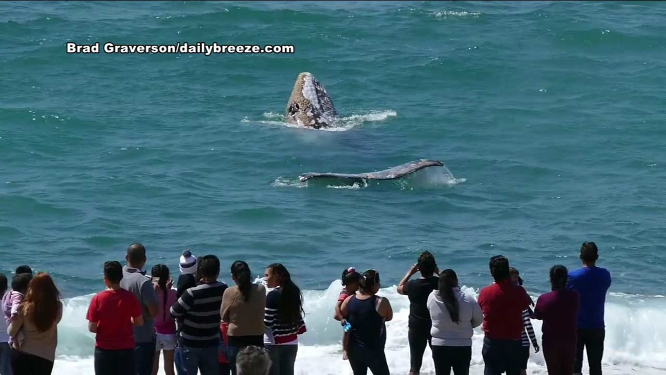 A young Pacific gray whale delighted beachgoers with playful antics near the Redondo Beach pier on Wednesday, March 31, 2016.