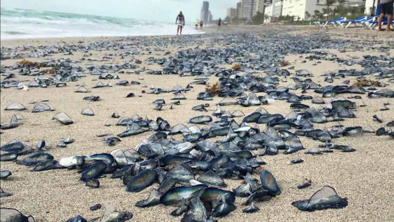 A sea of jellyfish are seen washed ashore at Florida's Hallandale Beach.
