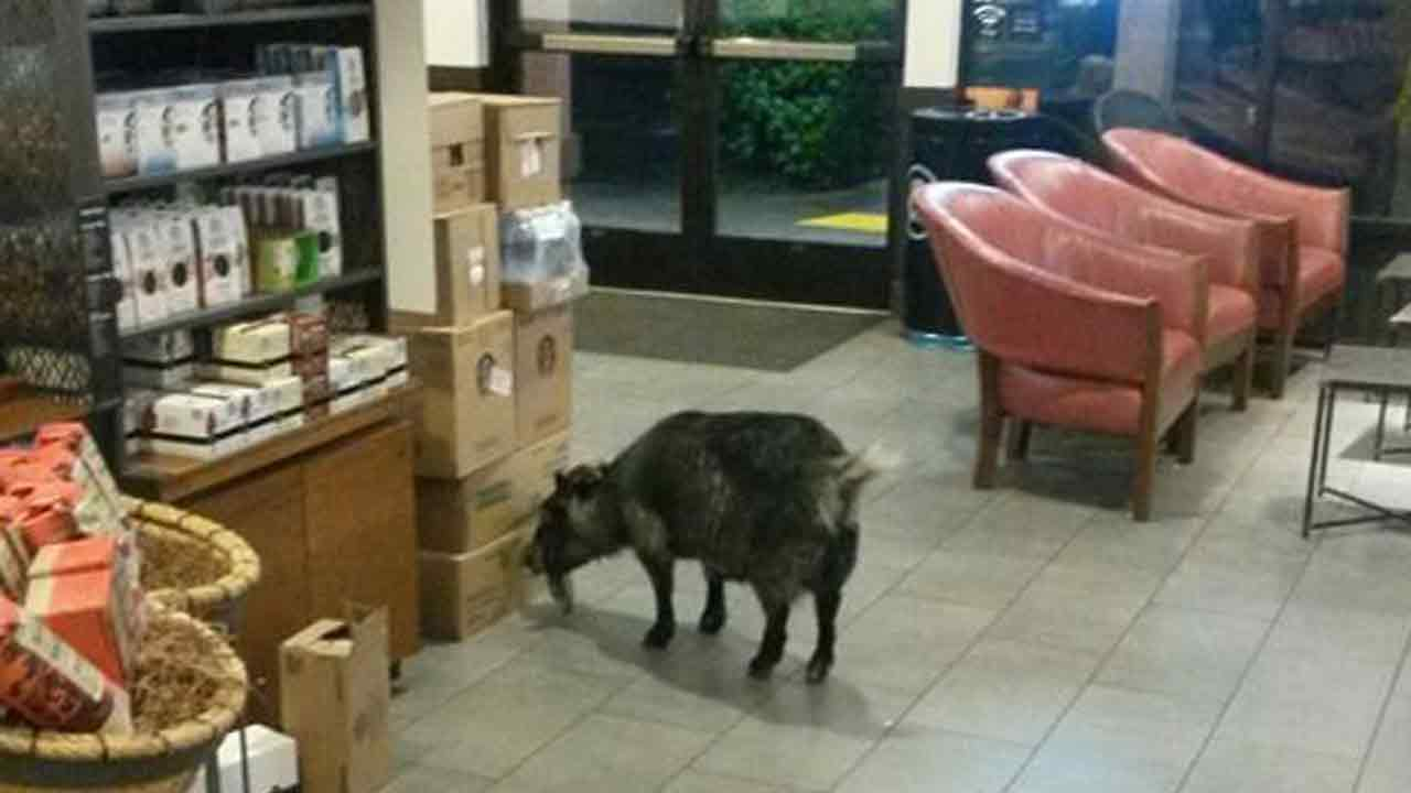 A goat wanders into a Starbucks in Rohnert Park, Calif., for an apparent caffeine fix.