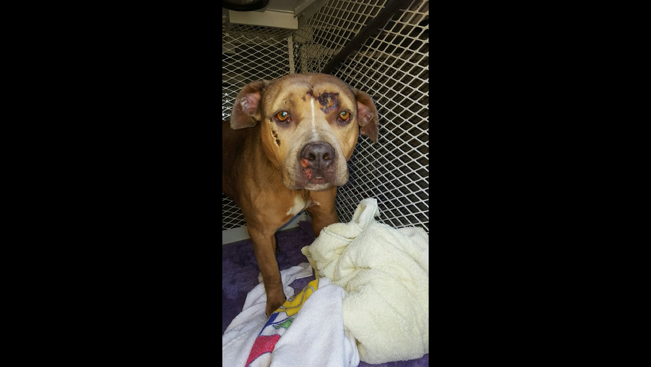 This image shows a pit bull that was found injured on the side of Highway 101 in Petaluma, Calif. April, 12, 2016.