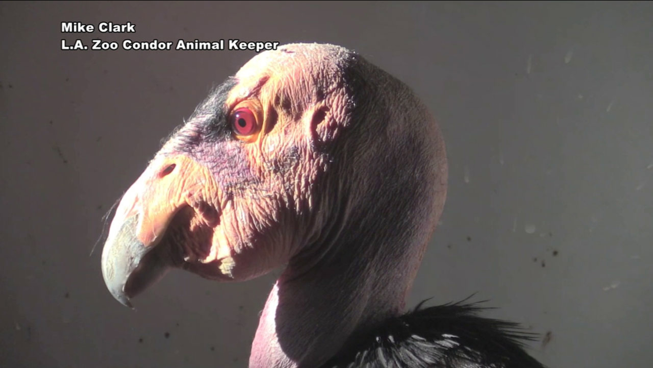 The nation's oldest California condor, Topa-topa, is shown in an image from the Los Angeles Zoo.