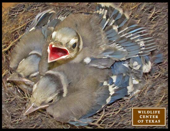 "<div class=""meta image-caption""><div class=""origin-logo origin-image ktrk""><span>KTRK</span></div><span class=""caption-text"">Baby blue jays seen at The Wildlife Center of Texas (The Wildlife Center of Texas)</span></div>"