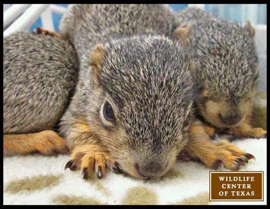 "<div class=""meta image-caption""><div class=""origin-logo origin-image ktrk""><span>KTRK</span></div><span class=""caption-text"">Baby fox squirrels seen at The Wildlife Center of Texas (The Wildlife Center of Texas)</span></div>"