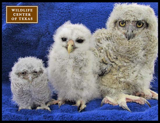 "<div class=""meta image-caption""><div class=""origin-logo origin-image ktrk""><span>KTRK</span></div><span class=""caption-text"">Baby owls seen at The Wildlife Center of Texas (The Wildlife Center of Texas)</span></div>"