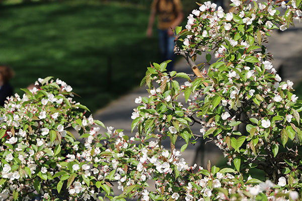 saturday april 23 2016 marks 400 years since shakespeare died this year the central park conservancy is celebrating the gardens 100th anniversary - Shakespeare Garden Central Park