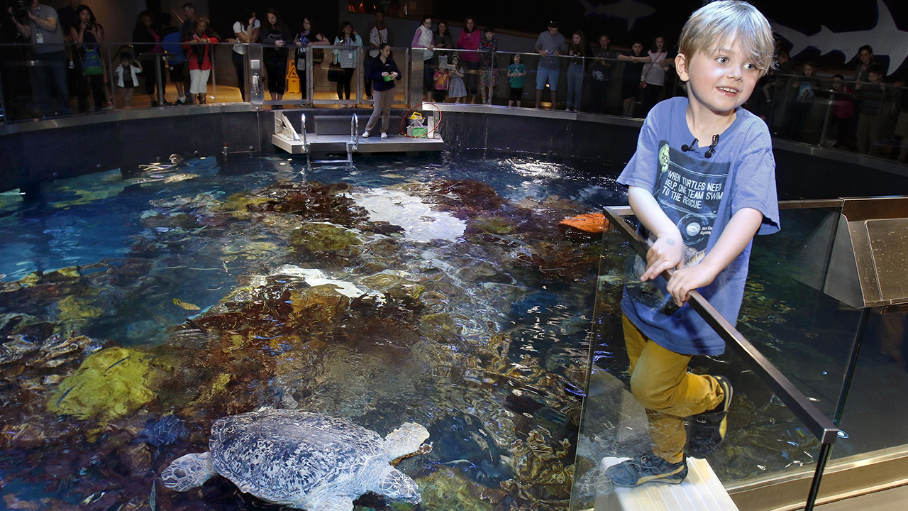 Jasper Rose, of Watertown, Mass., stands near Myrtle, a green sea turtle swimming in the main tank at the New England Aquarium Friday, April 22, 2016, in Boston.