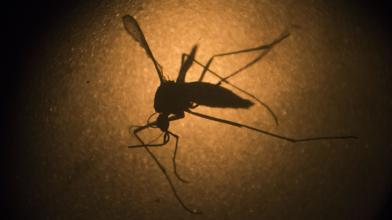 In this Jan. 27, 2016, file photo, an Aedes aegypti mosquito is photographed through a microscope at the Fiocruz institute in Recife, Pernambuco state, Brazil.