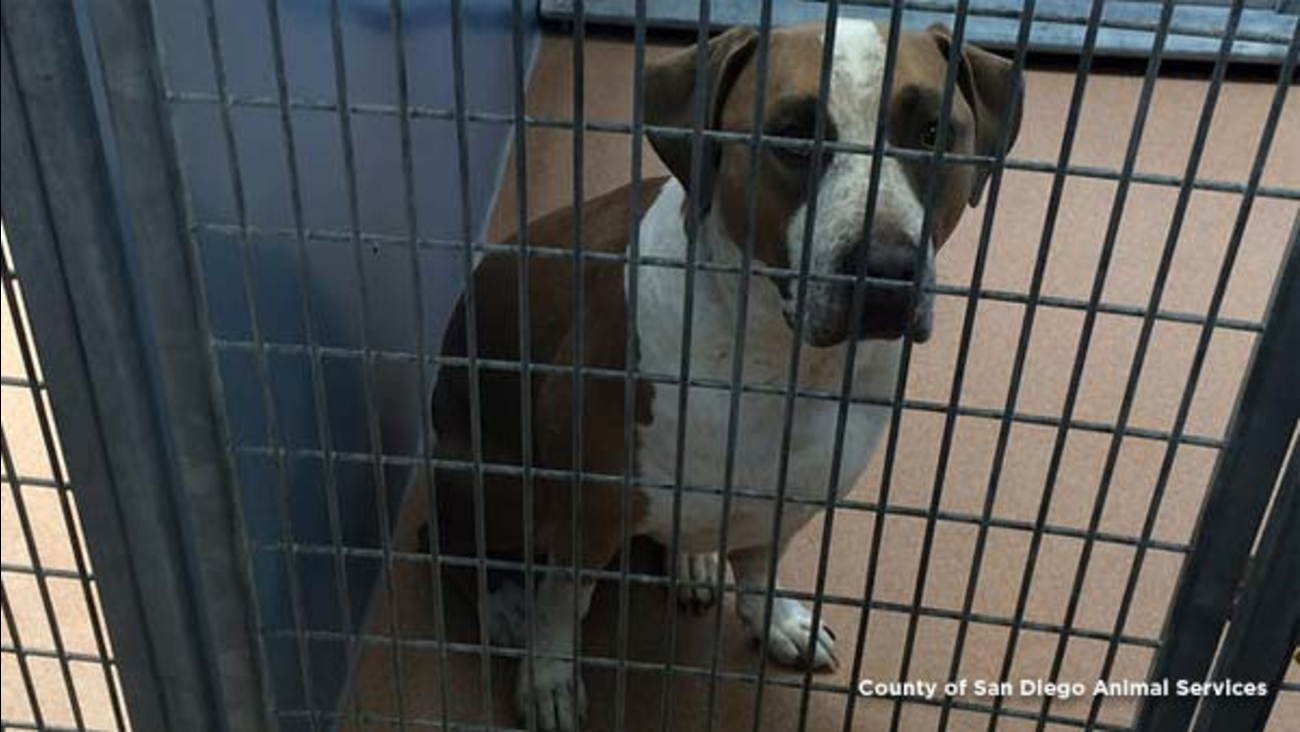 Officials said a 2-year-old dog, a neutered male American Staffordshire terrier-mix named Polo, mauled a 3-day-old boy to death at his family's home in San Diego on April 21, 2016.