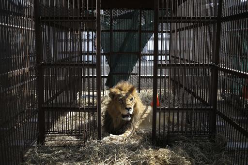 """<div class=""""meta image-caption""""><div class=""""origin-logo origin-image ap""""><span>AP</span></div><span class=""""caption-text"""">33 lions rescued from circuses in Peru and Colombia returning to their homeland on Friday, April 29 to live out the rest of their lives in a private sanctuary in South Africa. (Martin Mejia)</span></div>"""