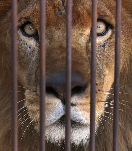 "<div class=""meta image-caption""><div class=""origin-logo origin-image ap""><span>AP</span></div><span class=""caption-text"">33 lions rescued from circuses in Peru and Colombia returning to their homeland on Friday, April 29 to live out the rest of their lives in a private sanctuary in South Africa. (Martin Mejia)</span></div>"