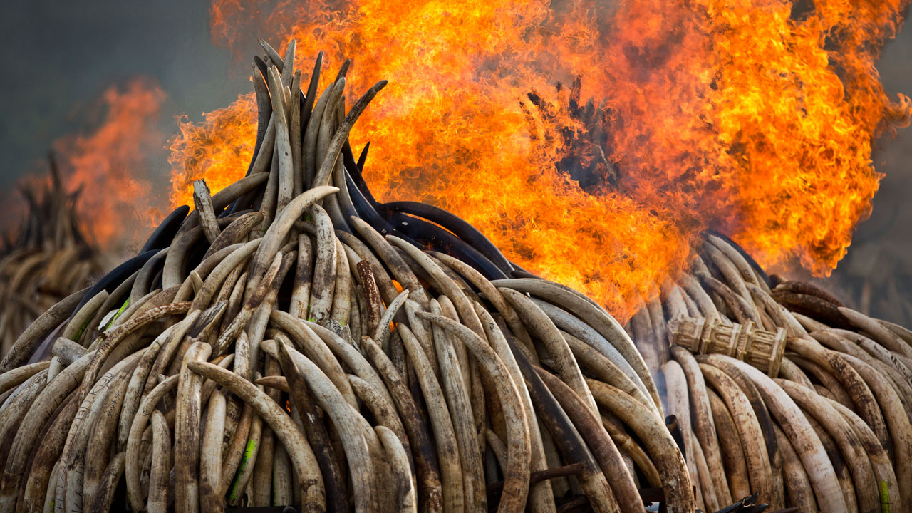 An ivory statue, right, lies on top of pyres of ivory as they are set on fire in Nairobi National Park, Kenya Saturday, April 30, 2016.