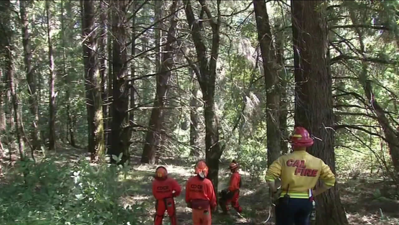 Cal Fire crews trimmed thick brush along Black Road in the Santa Cruz mountains as they prepare for the upcoming fire season on Monday, May 2, 2016.