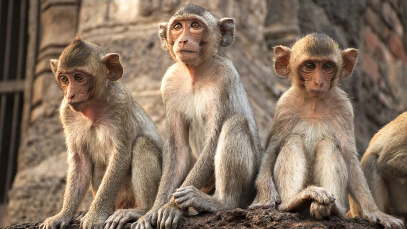 A stock image of monkeys