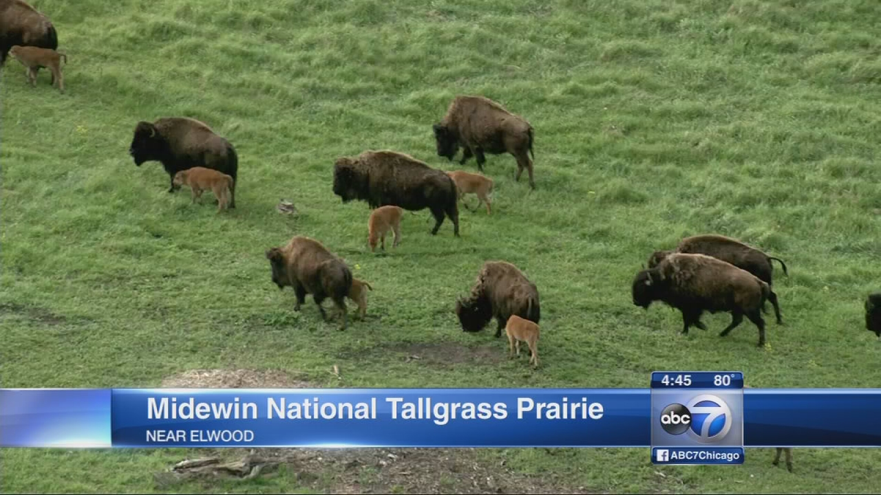 Midewin see bison baby boom