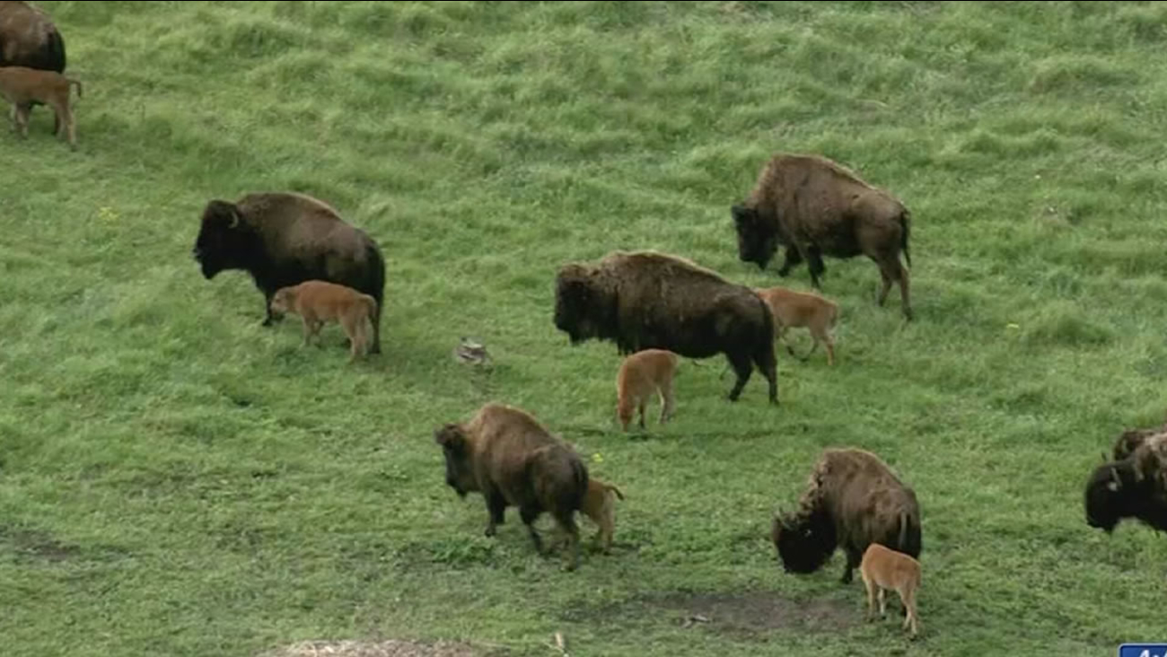 The North American bison is the official national mammal of the United States.