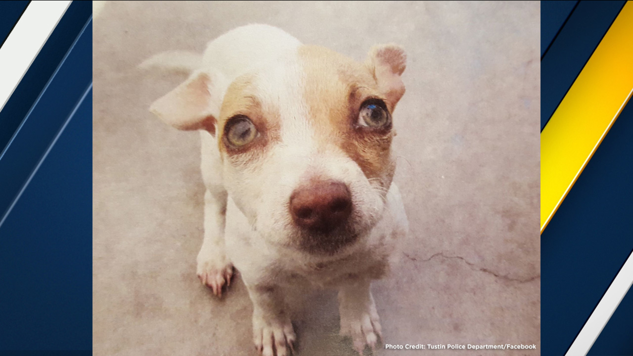 Bubba, a terrier mix puppy, tested positive for heroin, methamphetamine and nicotine after being rescued during a drug bust at a Tustin motel in March, according to police.