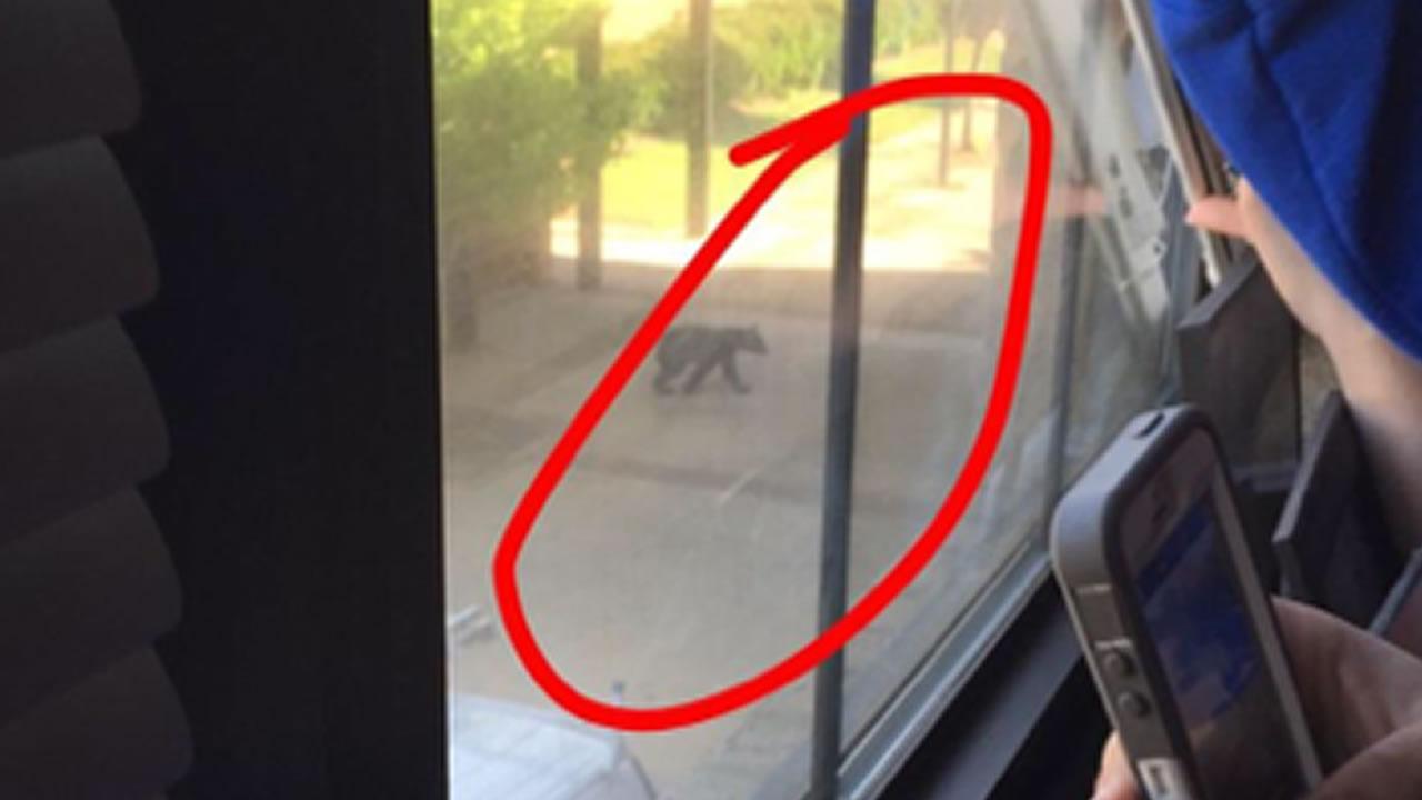 A bear on the campus of Roanoke Rapids High School (ABC11 Eyewitness photo)