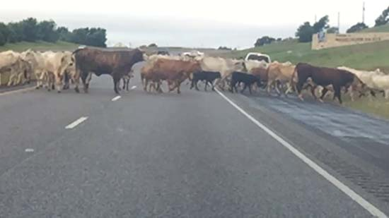 """<div class=""""meta image-caption""""><div class=""""origin-logo origin-image ktrk""""><span>KTRK</span></div><span class=""""caption-text"""">More than 100 head of cattle crossing 290 managed to close down the roadway at the Brazos River Bridge on May 27, 2016. (Waller County Sheriff's Office)</span></div>"""