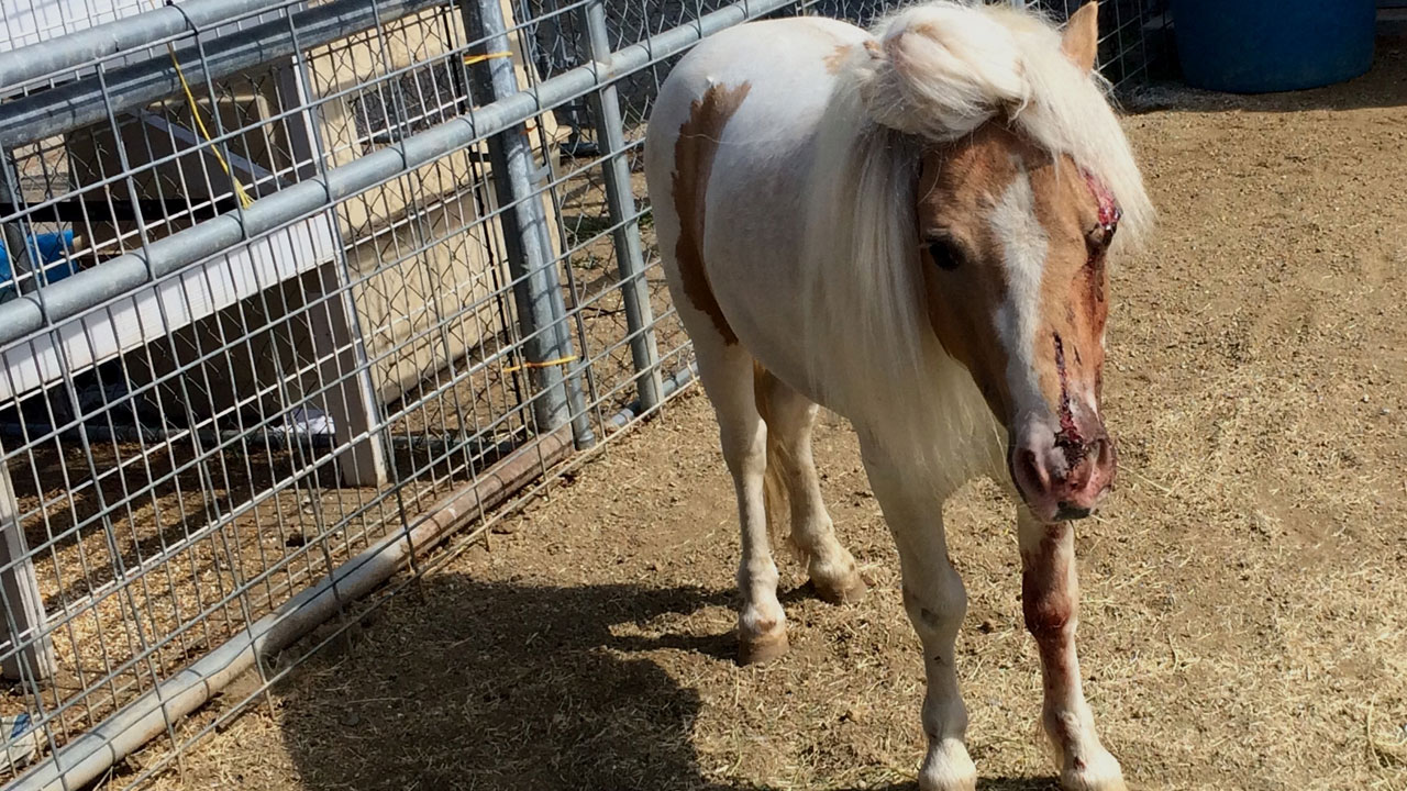 A miniature horse that may have been hit by a car after it escaped its owner's yard is shown above.