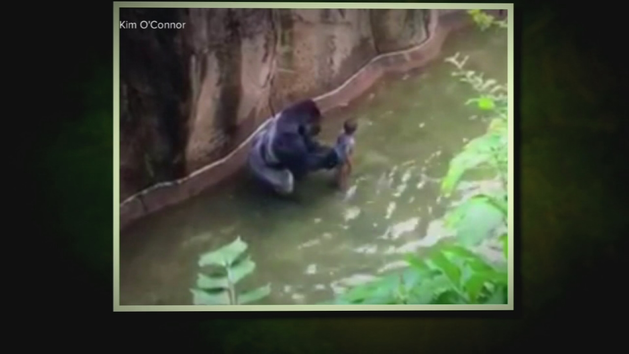 VIDEO: Boy falls into gorilla exhibit