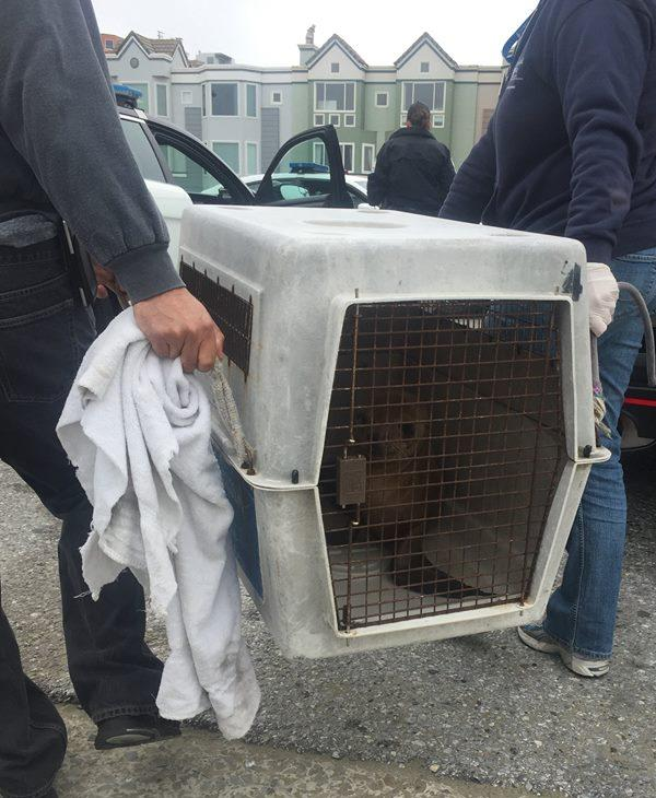 "<div class=""meta image-caption""><div class=""origin-logo origin-image none""><span>none</span></div><span class=""caption-text"">San Francisco police helped rescue a sea lion along the Great Highway, Monday, May 30, 2016. (San Francisco police)</span></div>"