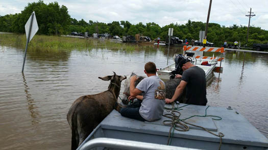 "<div class=""meta image-caption""><div class=""origin-logo origin-image none""><span>none</span></div><span class=""caption-text"">Llamas, donkeys and mini horses in Holiday Lakes were taken to higher ground Sunday, June 6. (Sydney F.)</span></div>"