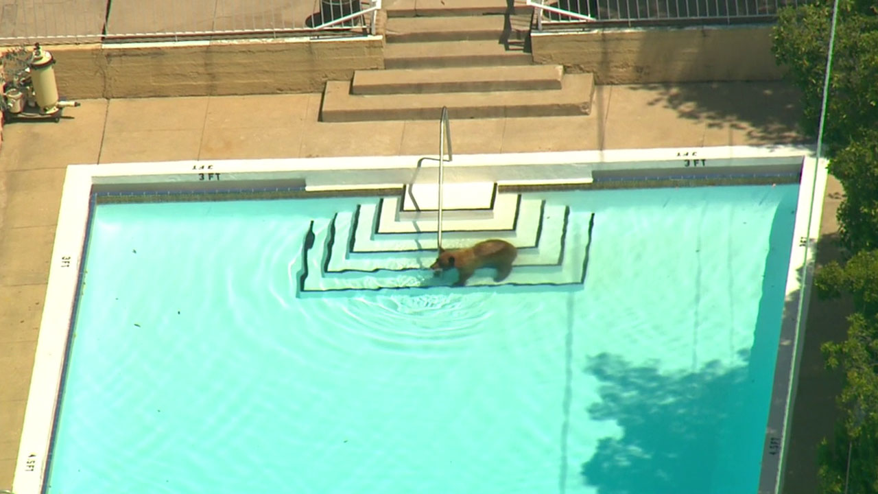 A bear was spotted in a backyard pool while it wandered a La Canada Flintridge neighborhood on Wednesday, June 8, 2016.