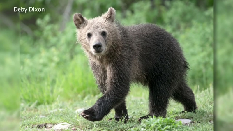 Bear cub struck, killed by driver