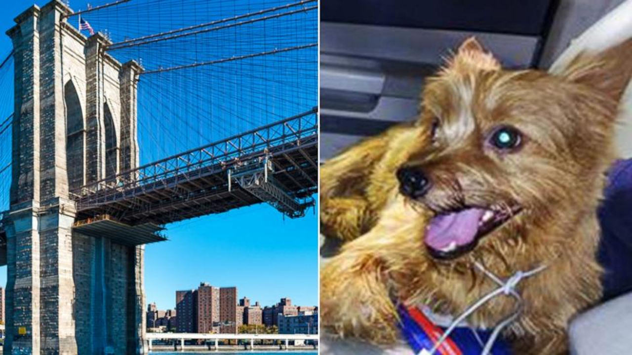 brooklyn bridge limo puppy