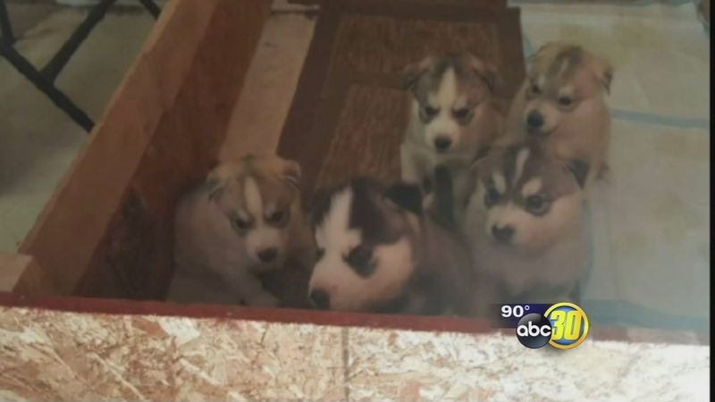 Craigslist Fresno Madera >> 5 Husky Puppies Stolen From Madera County Woman After Craigslist Ad