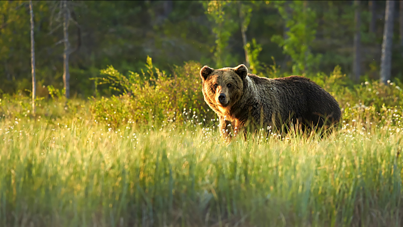 A grizzly bear is seen in this file photo.