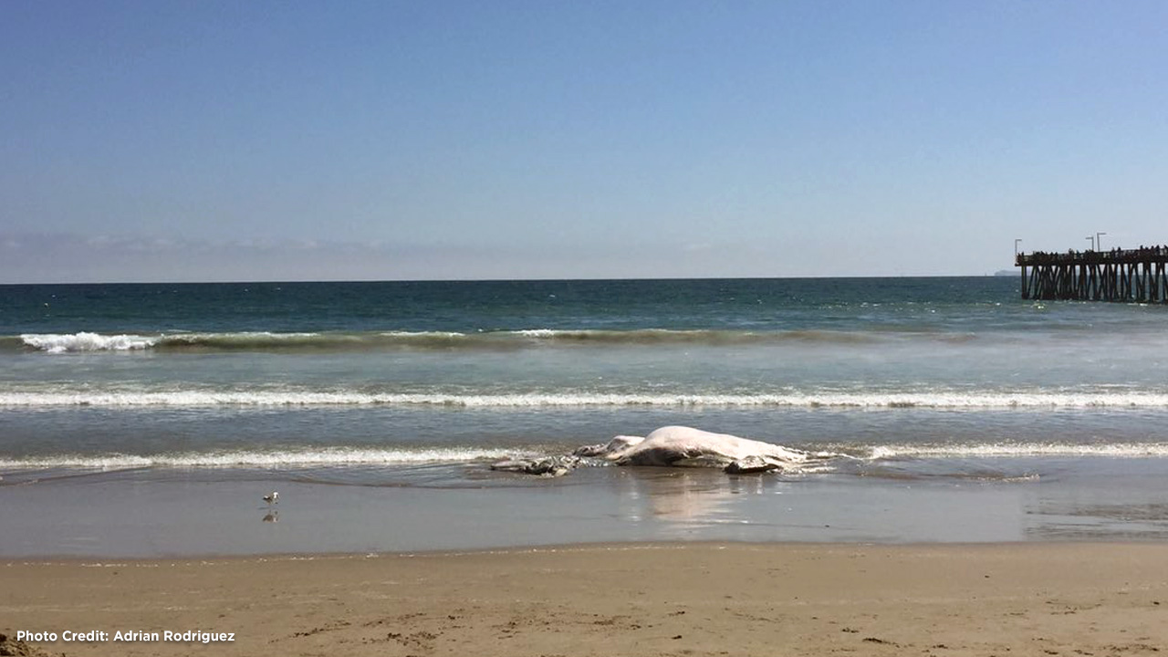 A dead whale washed ashore in Port Hueneme in Ventura County on Monday, July 4, 2016.